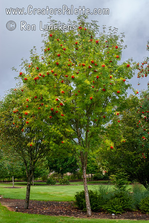 Sorbus aucuparia 'Beissneri' (Beissner Cutleaf Mountain Ash)