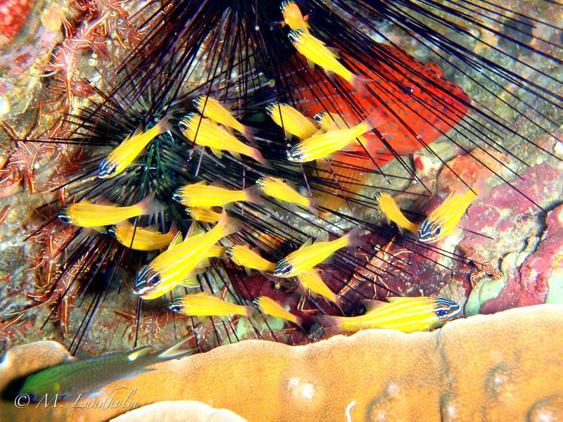 Yellow Cardinalfish & Long-Spined Sea Urchin