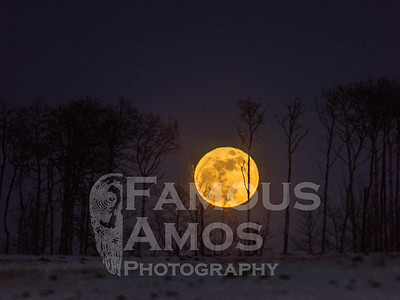 Bison and Full Moon