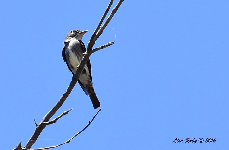 Olive-sided Flycatcher 2  - 6/4/2016 - Laguna Meadows