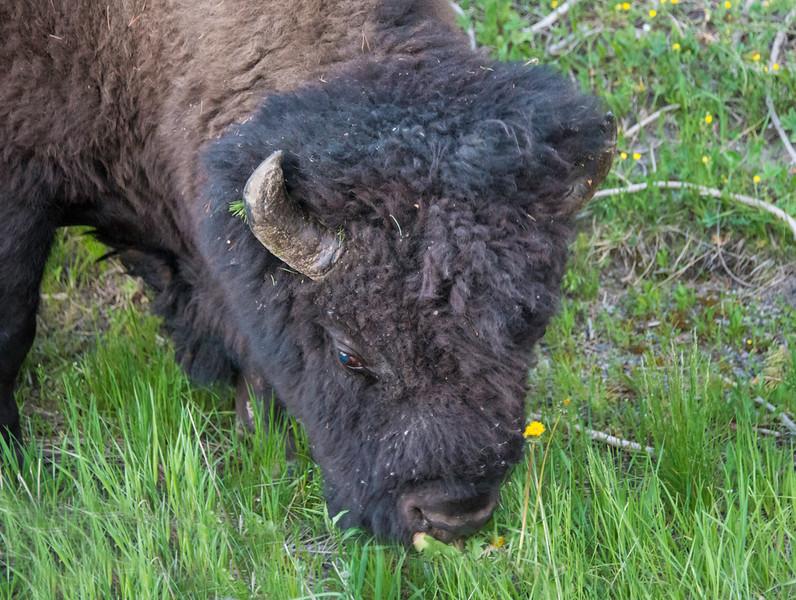 Bison Head.jpg