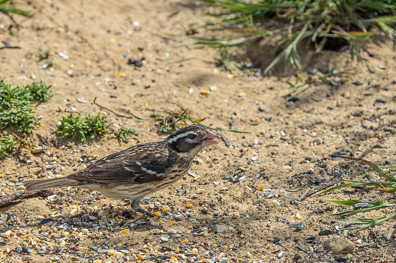 birdseed and grosbeak.jpg