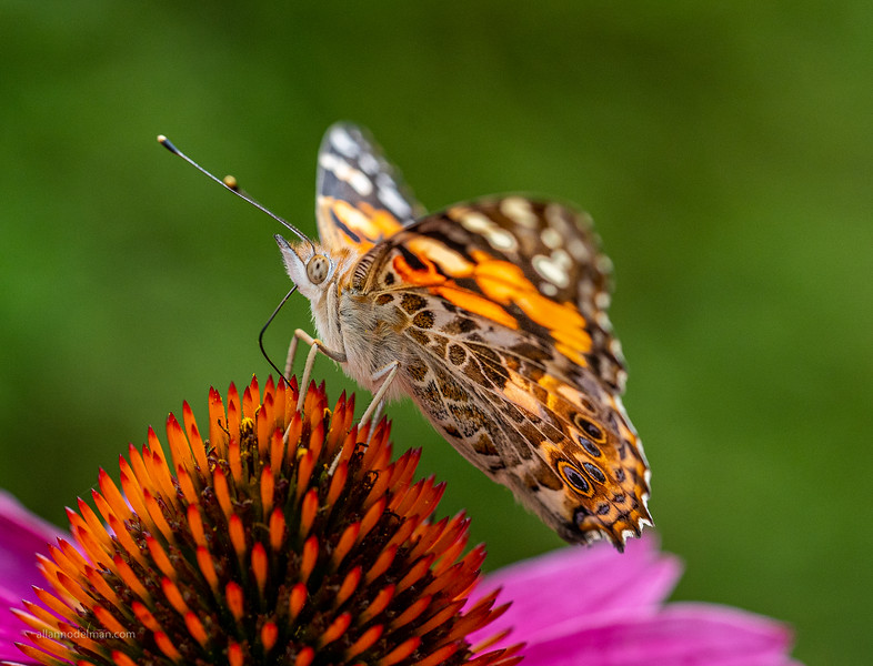 Painted Lady in Our Garden