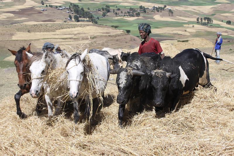 threshing wheat and barley with animals