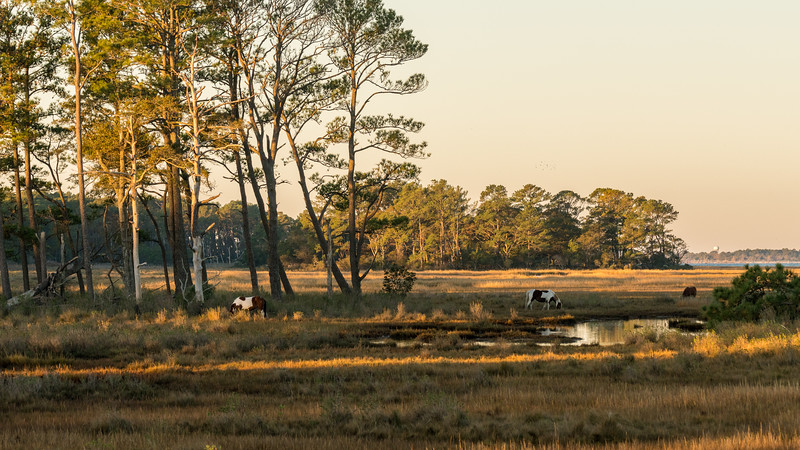 Chincoteague  Ponies, Morning