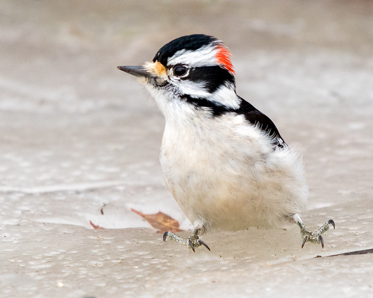 Downy Woodpecker on the ice