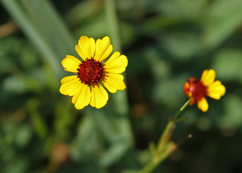 Coreopsis tinctoria - Coreopsis
