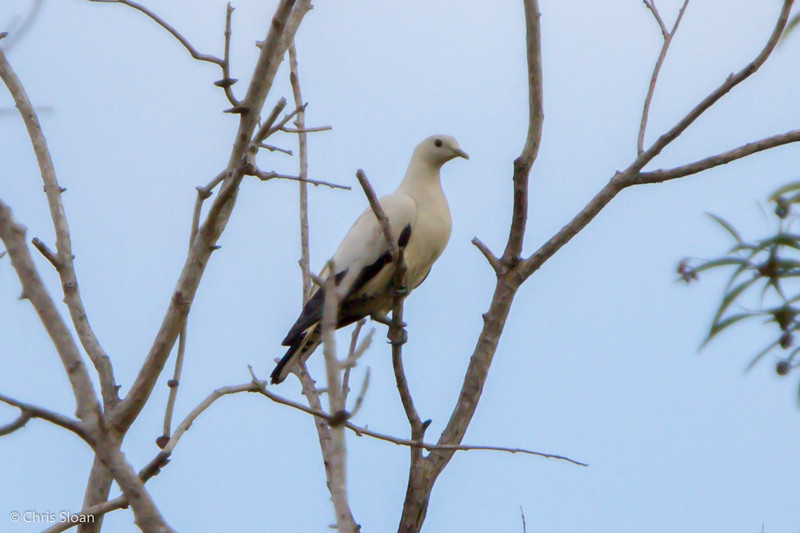 Torresian Imperial-Pigeon at Pacific Adventist University, Port Moresby, Papua New Guinea (09-29-2013) 009-558.jpg
