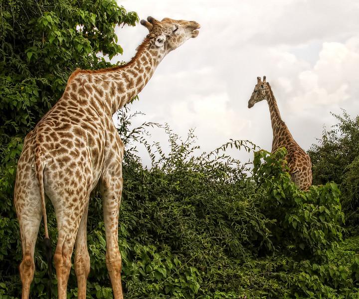 two-giraffe-chobe-park-botswana.jpg