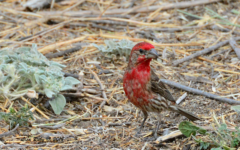 Very Red Male House Finch - 7/13/2014 - Nancy's House, Ramona