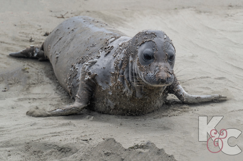 Elephant Seal, young female shedding  her skin