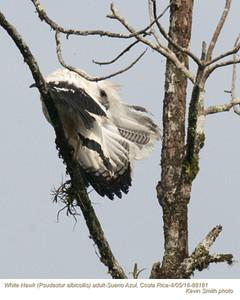 White Hawk A88181.jpg