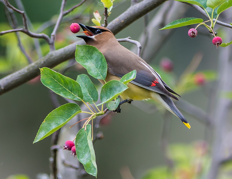 Waxwing w apple.jpg