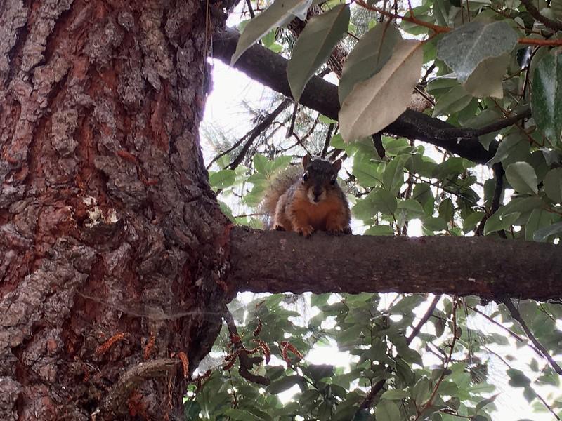 Presidio squirrel