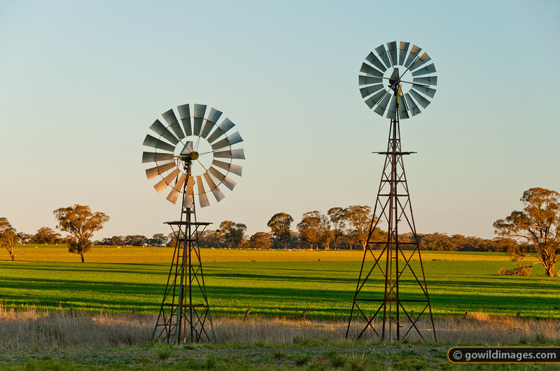 Windmills at sunset near Mathiesons. Sheep graze in the farmland behind.