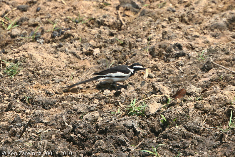 African pied wagtail (chobe)