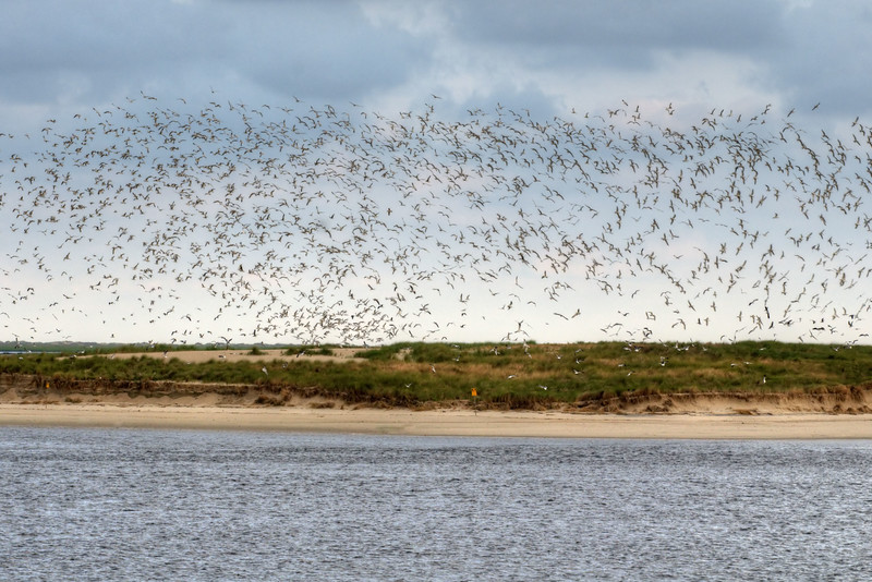 Hundreds of seagulls fly around an island during the trip on the North Carolina Ferry to Southport from Kure Beach, NC on Friday, June 5, 2015. Copyright 2015 Jason Barnette