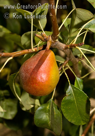 Seckel Pear - Pyrus communis sp.
