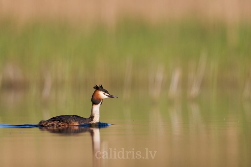 Great Crested Grebe in the lake Kaņieris