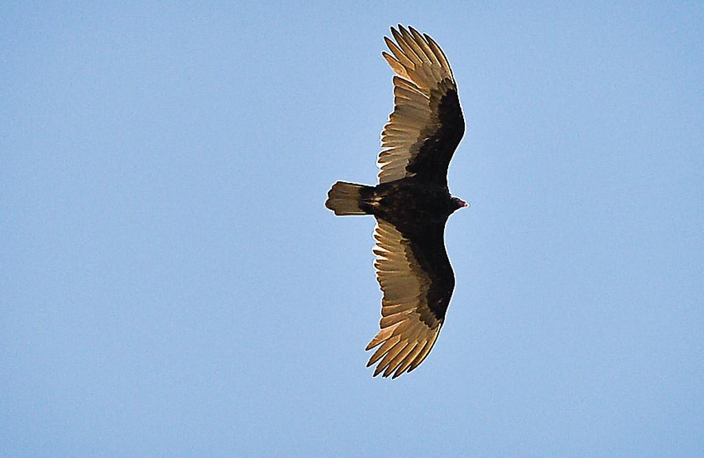 . A turkey vulture cruises over Hammond Stadium. (Pioneer Press: Ben Garvin)