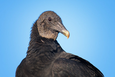Black Vulture posing - not that many people take his photo