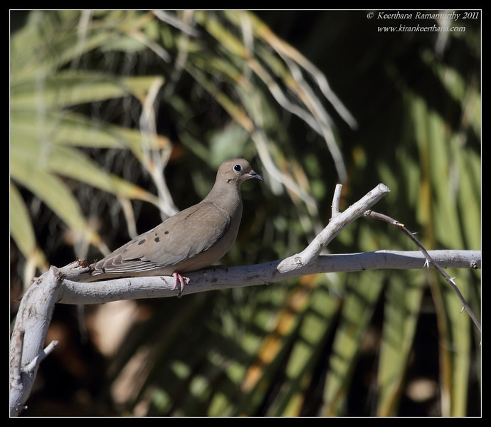 Mourning Dove, Thousand Palms, Palm Springs, California, March 2011