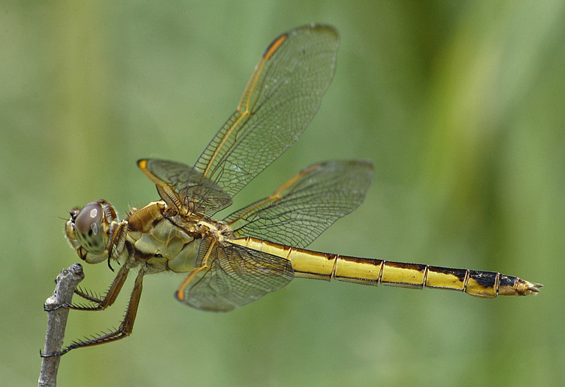 Libellula needhami (Needham's Skimmer), FL - female