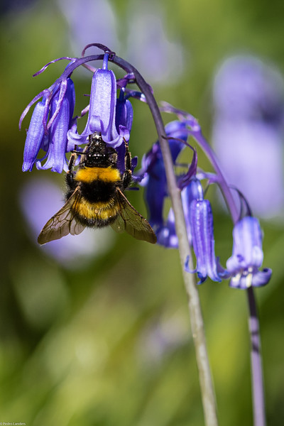 Bee and Bluebell
