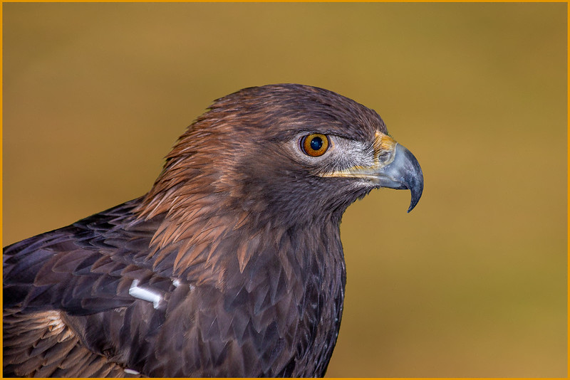 DA054,DP,Golden Eagle Portrait.jpg