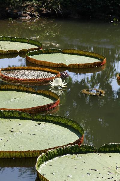 Monsterous lotus pads
