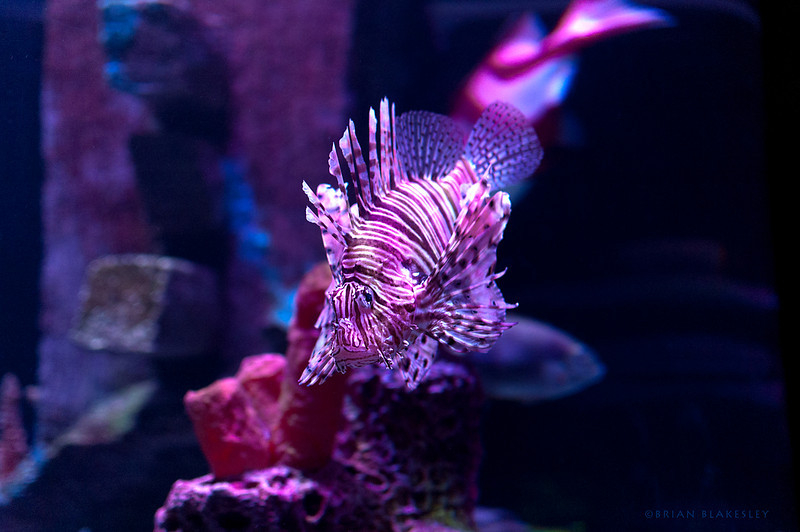 A Lionfish cruising
