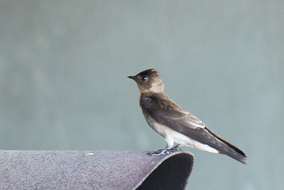 Stelgidopteryx ruficollis - Southern Rough-winged Swallow