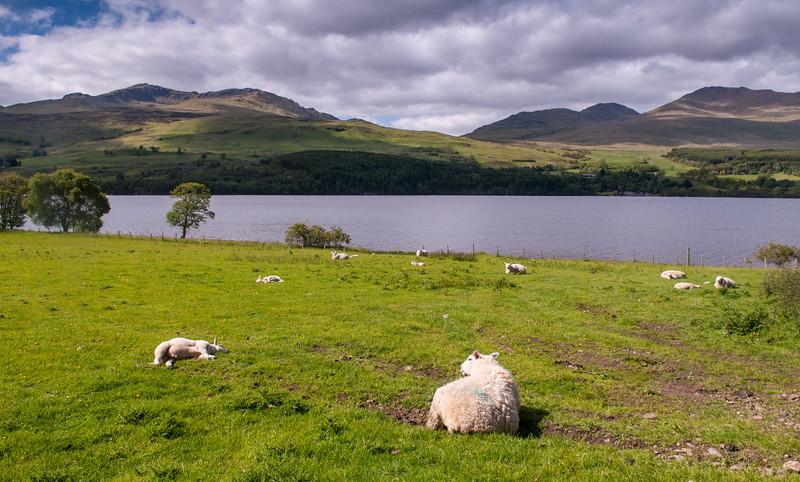 Sheep at Loch Tay