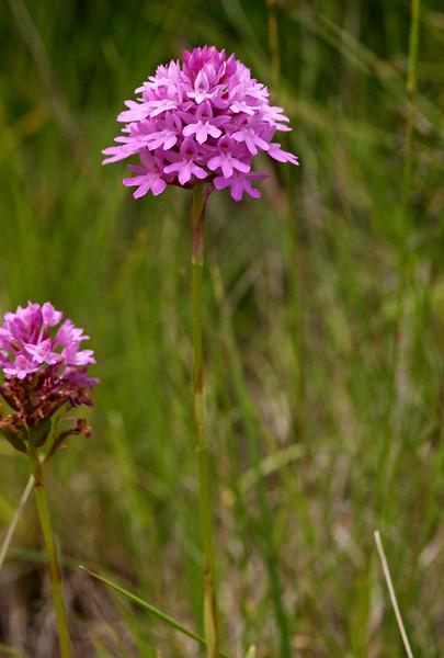 A. pyramidalis Brezovica 21-06-14 (8).jpg