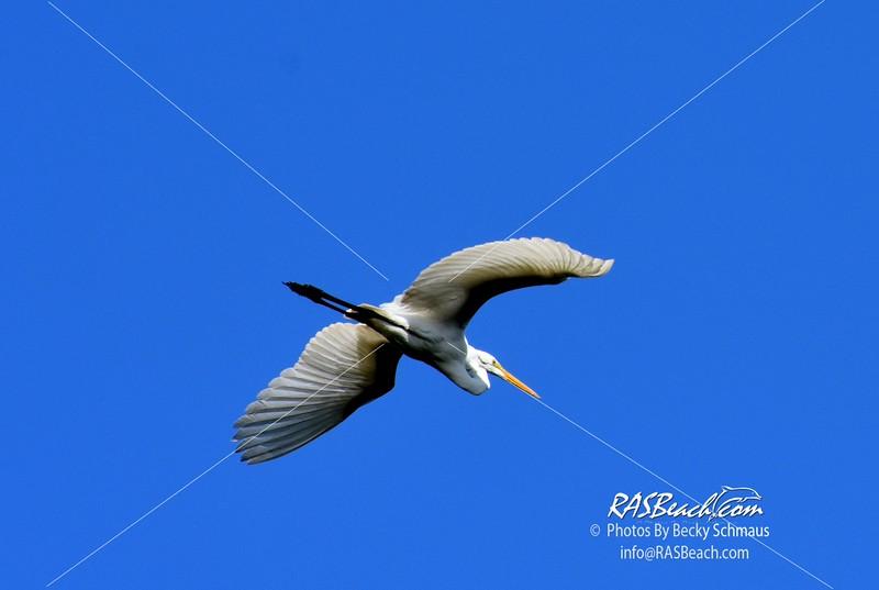Great Egret in the Wakodahatchee Wetlands