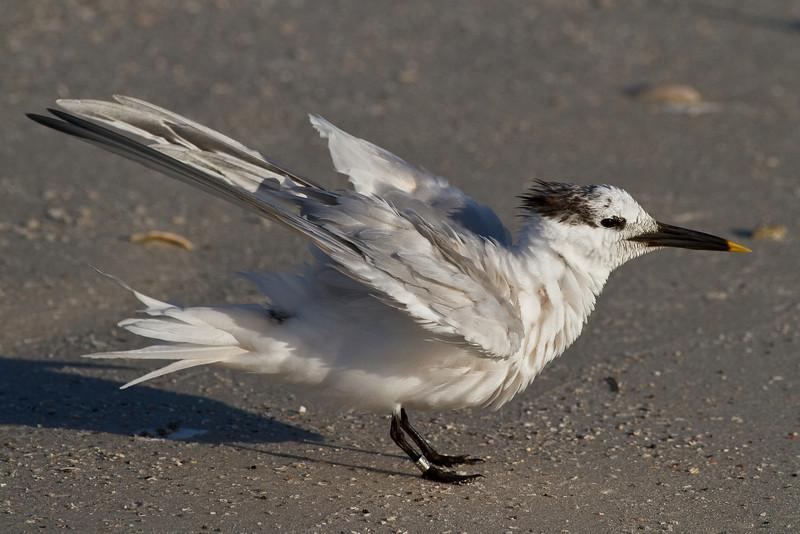 Sandwich Tern, Lover's Key SP