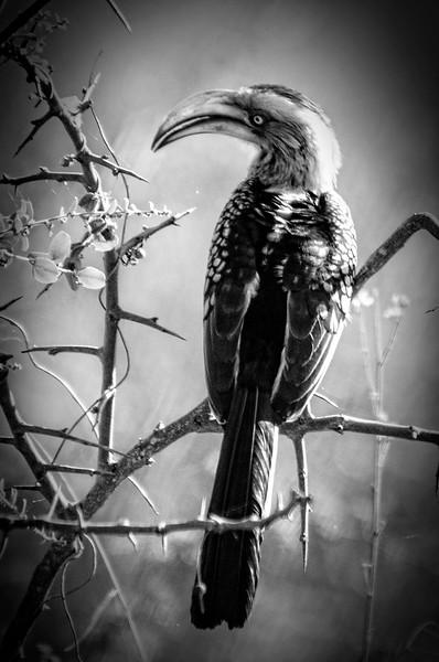 Hornbill resting