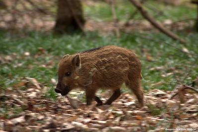 Wild boar - Set 2