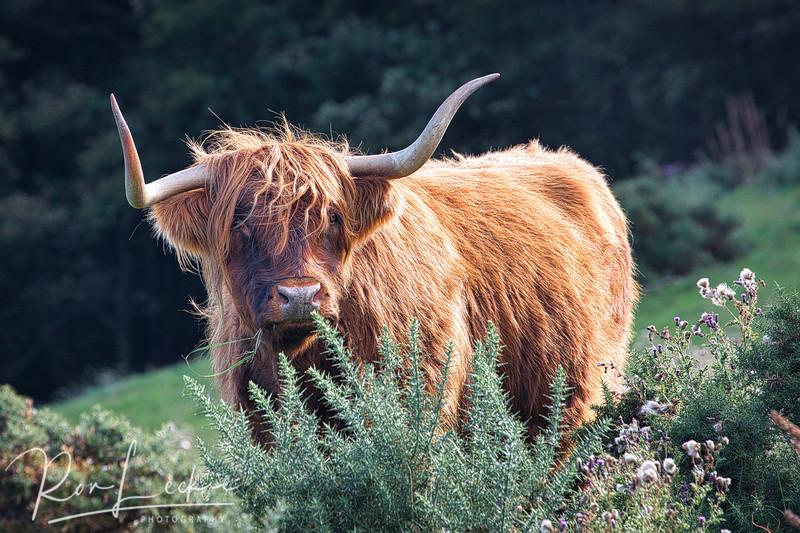 Highland Cow (Hielan' Coo)