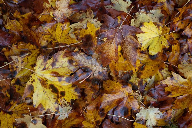 Maple Floor