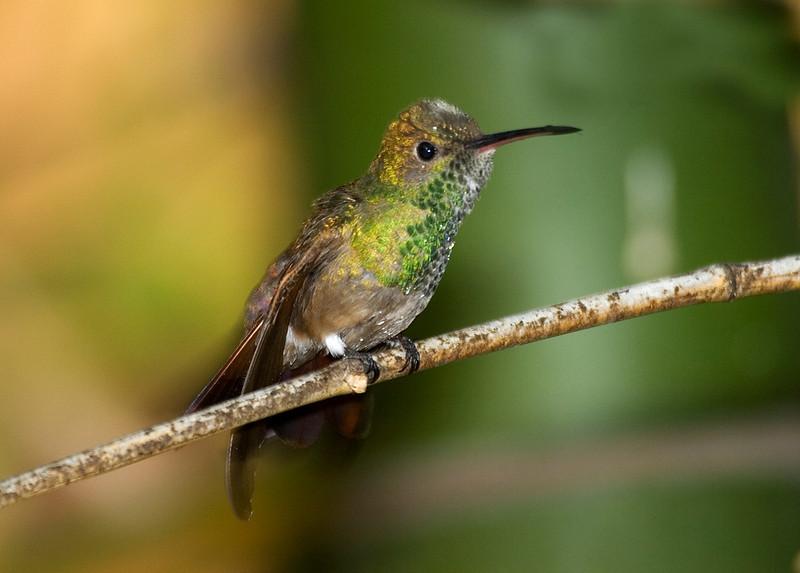 Berylline Hummingbird 1.jpg