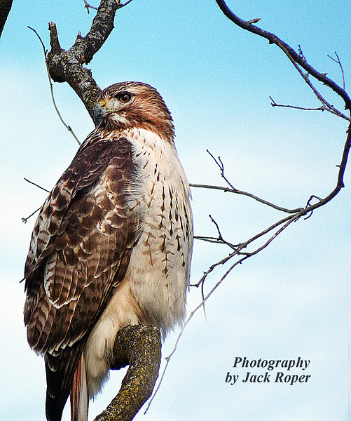 HAWK EYE RED TAIL.jpg