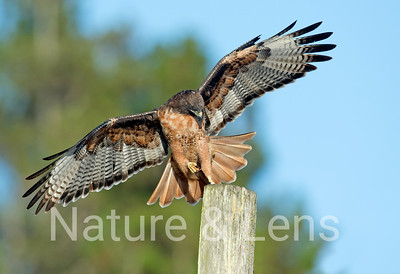 Hawks, Red-tailed Hawks