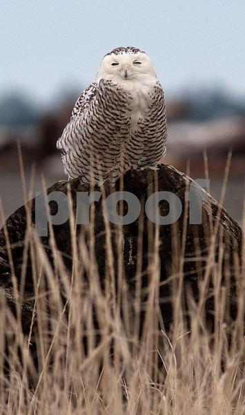 Snowy owl 5545c.jpg