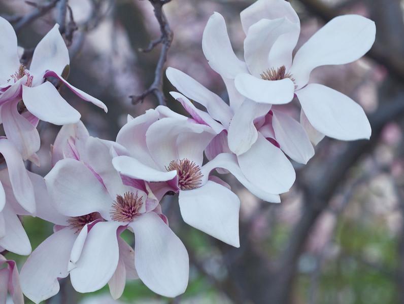 magnolias 13 9288