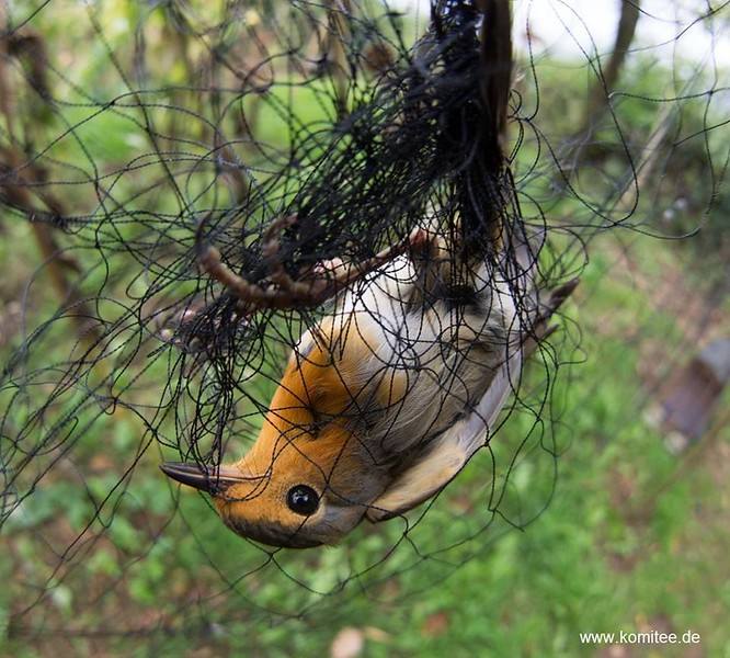 Punch against poaching in Brescia (Northern Italy): Near Odolo a CABS team has unveiled a gigantic bird trapping installation in a heavily secured with fenced garden. A 60 year old poacher had erected 11 nets with a total length of over 150 metres and stocked the site with 40 live decoys – mostly Robins and Dunnocks. Police subsequently found a further 23 nets following a search warrant of the trappers premises. The man is known as a source of illegally caught songbirds throughout the region. 11 freshly caught birds, including the Robin in the photo were released. This arrest is number 21 of the current CABS bird protection camp in the region.
