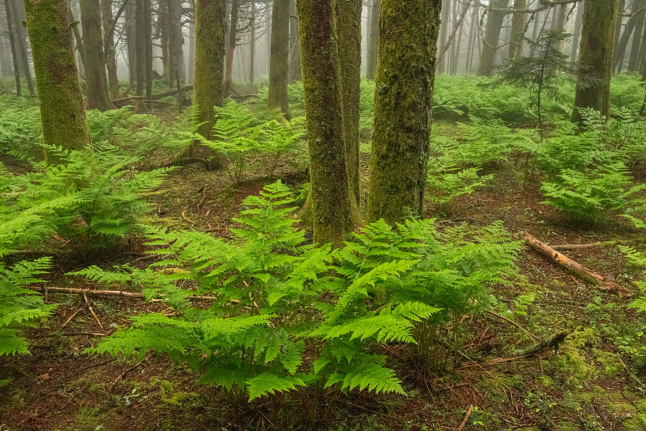 Fog and Ferns in the Forest