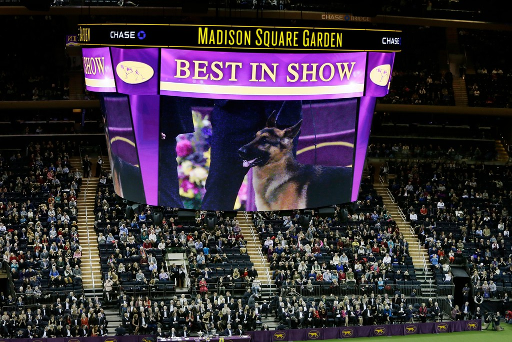. A video screen shows an image of Rumor, a German shepherd who won Best In Show, at the 141st Westminster Kennel Club Dog Show early Wednesday, Feb. 15, 2017, in New York. (AP Photo/Frank Franklin II)