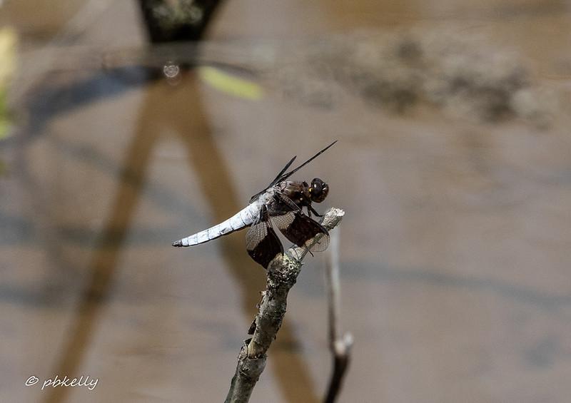 Common Whitetail.
