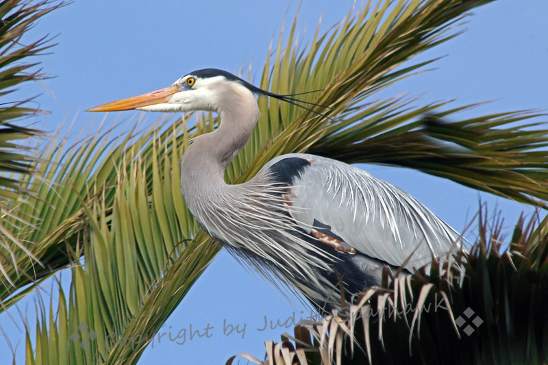 "Great Blue Heron ~ Went birding at Bolsa Chica Ecological Reserve, and looked at the old tree snags where the herons had nested last year.  Nope, none.  Then I found several Great Blue ""couples"" nesting in the large palm trees nearby."